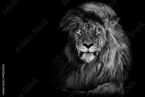 Foto Lion king isolated on black , Portrait Wildlife animal single