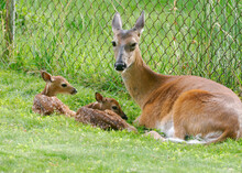 A Whitetail Deer Doe With Her Two Hours Old Newborn Fawns