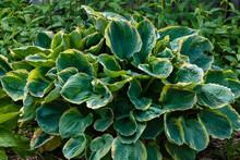 Hosta (lat. Hosta) In Garden. Hosta - Genus Of Perennial Herbaceous Plants Of The Family Green. Beautiful Bright Green Leaves Ornamental Plant Hosta.