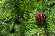 A Dry Pine Cone Lies On A Green Branch. Green Pine Branches On A Sunny Day. Christmas Morning. Dry Bump Close Up.