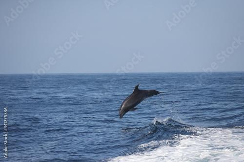 Fotografie, Obraz bottlenose dolphin  jumping