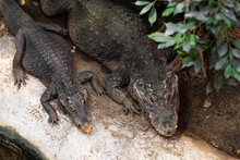 Two Crocodile Lay On Rock Near Water And Waiting For Food.