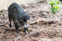 The Visayan Warty Pig (Sus Cebifrons) Is A Critically Endangered Species In The Pig Genus (Sus). It Is Endemic To Six Of The Visayan Islands (Cebu, Negros, Panay, Masbate, Guimaras, And Siquijor).