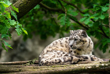The Snow Leopard (Panthera Uncia), Also Known As The Ounce, Is A Felid In The Genus Panthera Native To The Mountain Ranges Of Central And South Asia. It Is Listed As Vulnerable On The IUCN Red List.
