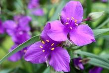 Purple Spiderwort Blooms