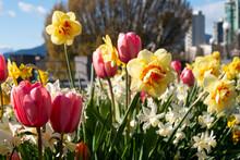バンクーバーの道端に咲く水仙とチューリップ