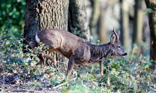 Fotografie, Obraz Male roe deer in the woods