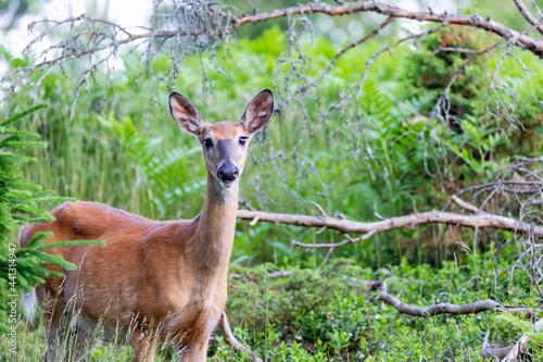 Obraz na plátně roe deer in the woods