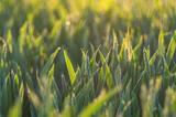 zielone trawy młodego zboża
