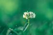 kwiat koniczyny białej, koniczyna rozesłana (Trifolium repens)