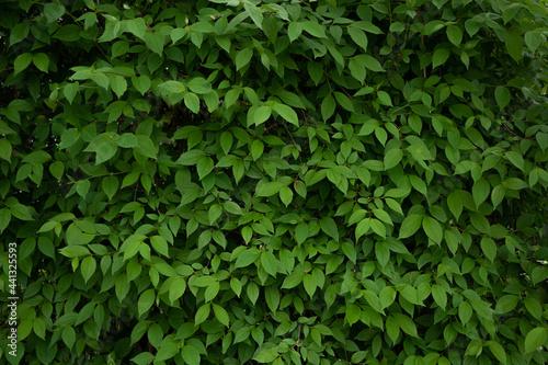 Tela Beautiful background of dense fresh leaves