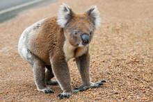 A Koala Walking On The Roadside