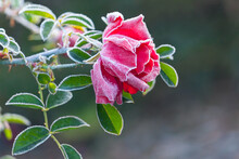 A Single Red Rose Covered In Winter Frost