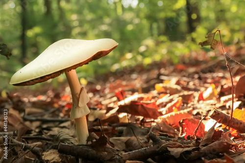 Fototapeta mushroom in the forest