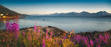 Bright Beautiful Landscape Of The Seashore In Tromso Novergia, Blooming Summer Landscape