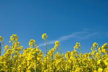 Field Of Oilseed Rape In Spring