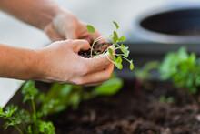 Gardener Replanting Seedlings Into Outdoor Veggie Garden Box In Backyard