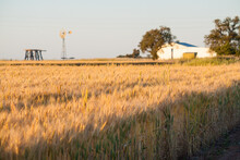 A Mature Wheat Crop In Front Of Farm Sheds And A Windmill