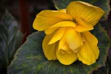 One Yellow Begonia Close-up On A Background Of Leaves