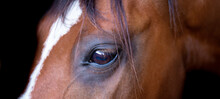 Horse Head Portrait Isolated Close Up. Beautiful Eye Of A Brown Horse On A Dark Background.