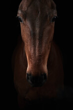 Brown Horse Looking At Camera On Black Background