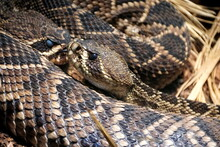 Beautiful Patterns Of Eastern Diamondback Rattlesnake