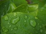 Krople deszczu na liściu