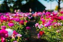 Beautiful Pink Peonies In The Garden. Field Of Paeonialactiflora Sarah Bernhardt.