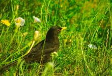 Kos Zwyczajny (Turdus Merula) Z żółtym Dziobem - Samiec. Common Blackbird (Turdus Merula) With A Yellow Beak - Male.