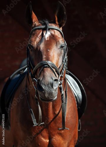 Fototapeta portrait of beautiful Trakehner stallion on stable background