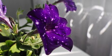 Purple Flower Petunia, Night Sky Blue Petunia, Interesting Color As The Night Sky With Stars, Or Space, Selective One Color, With White Dots On Petals, Big Blooms, Beautiful Violet Flower Background
