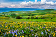 Wildflowers In The Rolling Hills Above The Columbia River In Columbia Hills State Park, Washington, With Partially Obscured Mt Hood In The Background.
