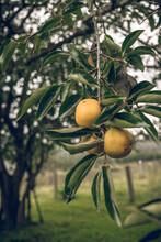 Persimmon Fruit Growing In A Farm House Garden