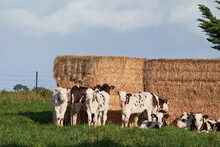 Young Dairy Calves With Hay Bale As Shelter