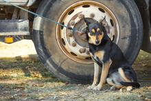 A Cattle Dog On A Lead Beside A Truck Wheel