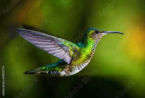 A hummingbird flies free and the majestic wings are seen in all their expression Fototapet