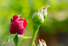 Red Rose. Rose Buds In The Garden On A Natural Background After The Rain. Flowers And Buds Of Red Roses In Dew Drops. Beautiful Flowers Of A Red Rose For A Holiday, Close-up, Gentle Blurred Background