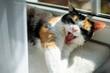 Kot leżacy na parapecie, ziewanie, kły, slodki kot, trikolorka, słońce