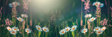 Wild Flowers And Blooming Grass In A Nature Meadow In The Rays Of Summer Sun In Spring. Close-up Macro. Picturesque Colorful Art Image With Soft Focus. Banner Place For Text
