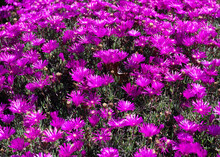 Delosperma Cooperi. Purple Ice Plant. Trailing Iceplant Ground Cover. Daisy-like Iceplant Flowers