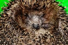 Close-up Hedgehog, Curled Up Into A Ball