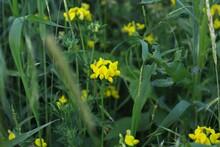 Lotus Corniculatus In Green Grass