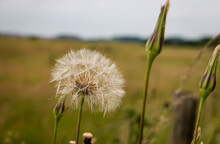 The Beautiful Fluffy Seed Ball Of The Tragopogon Crocifolius, Province Of Overijssel, Close To The City Of Zwolle