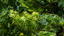 Beautiful Branches Of Yew Taxus Baccata Fastigiata Aurea (English Yew, European Yew) With Bright Green Foliage With Yellow Stripes Against Blurred Background Of Evergreens. Close-up. Nature For Design