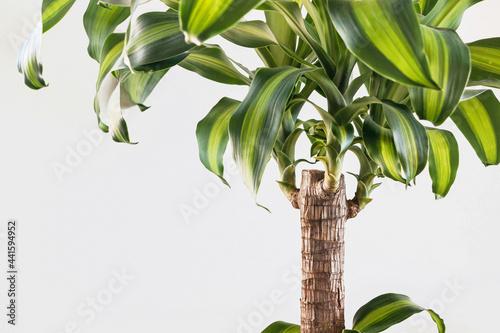 Obraz na plátne Dracaena fragrans plant with green leaves on white background