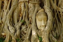 Buddah Head Statue In The Tree Root.