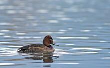 Ferruginous Duck - Aythya Nyroca, Crete