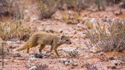 Slika na platnu Yellow mongoose running in scrubland in Kgalagadi transfrontier park, South Afri