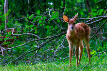 A Pretty White Tail Fawn Deer Cocks It's Ear Back In A Curious Way With A Fallen Tree Branch In The Background.