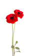 Red ranunculus asiaticus flower isolated on white background. Persian buttercup. Beautiful summer flowers.